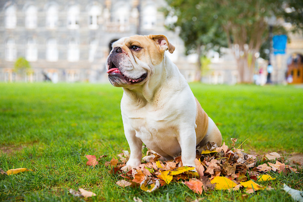 Jack the Bulldog sitting in a leaf pile